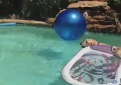 仔犬がママに乗ってプールでサーフィン