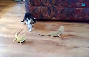 イグアナにびびる仔猫