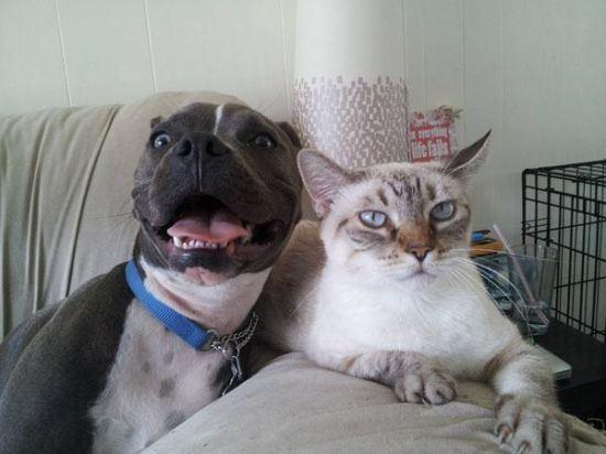 ピットブルと猫