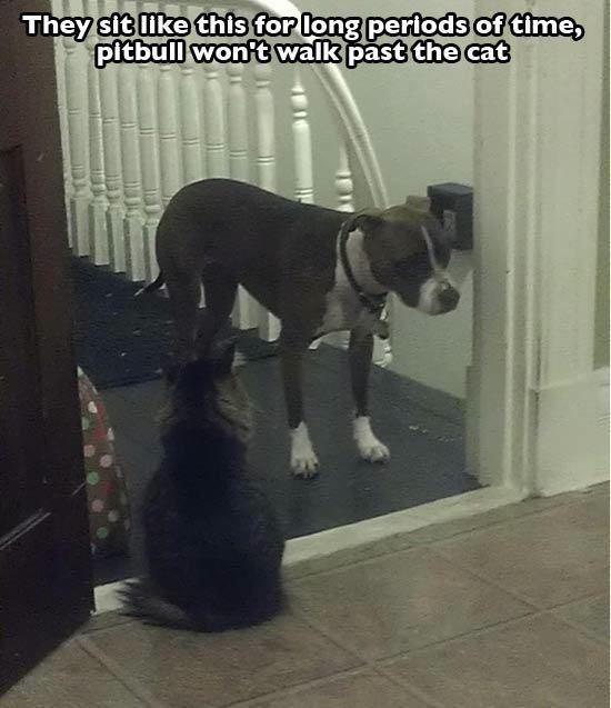 猫が怖いピットブル
