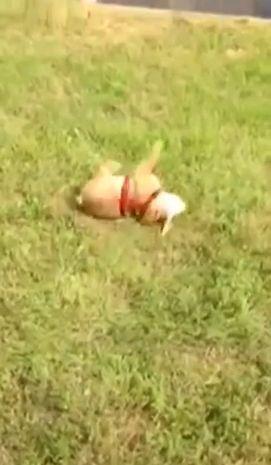 ブルドッグの仔犬