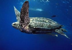 オサガメの口の中