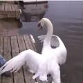 白鳥のお父さん