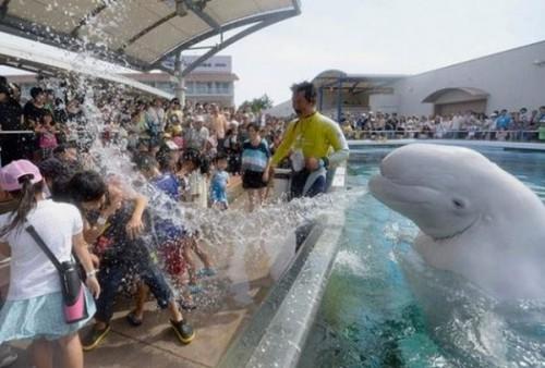面白画像|水をかける白イルカ