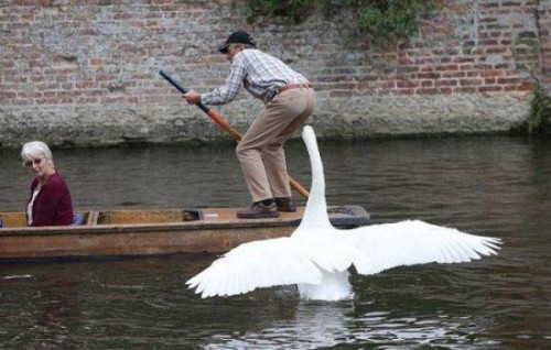 面白画像|いたずら好きな白鳥