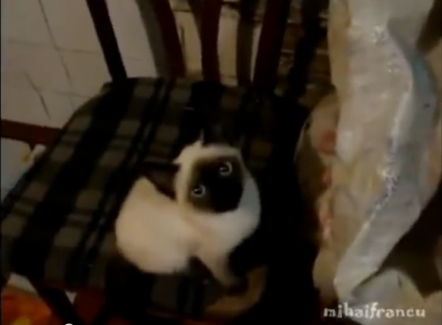 【面白動画】生のトウモロコシをナムナム言いながら食べるシャムの仔猫
