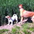 カンガルーのようにジャンプする犬