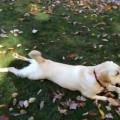 【面白動画】落ち葉の山にダイブしてボールをゲット!その後はなぜか匍匐前進