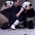 【面白動画】薬を飲ませたい飼育員とじゃれつく2頭のパンダの攻防