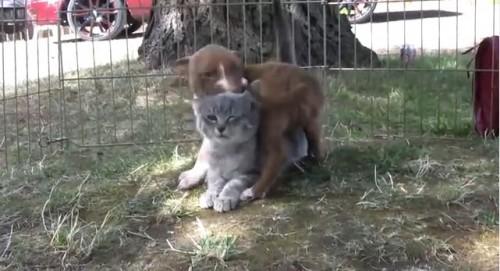 面白動画|ピットブルの仔犬10匹と1匹の仔猫