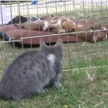 ピットブルの仔犬10匹と1匹の仔猫
