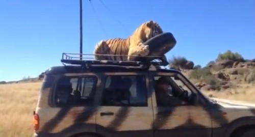 車の上の虎