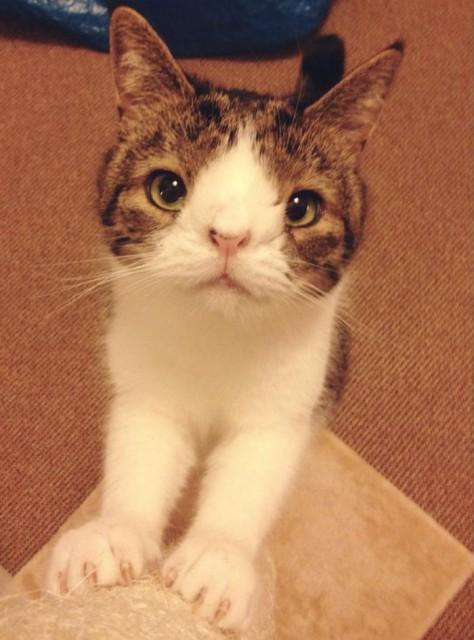 変わった顔の猫?でもそんなの問題なく可愛い猫のモンティーさん