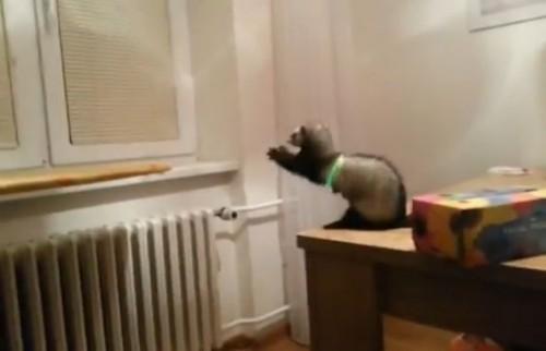 面白動画 ジャンプに失敗するフェレット
