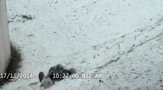 【面白動画】このパンダ以上に雪を楽しむ事ができるヤツいる?