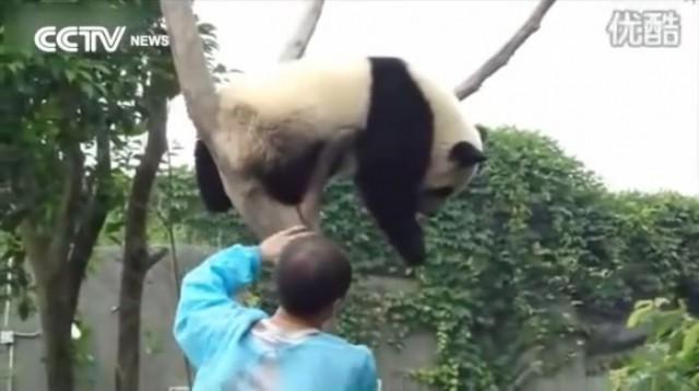 【面白動画】抱っこしてもらうまで寝たふりする甘えん坊のパンダちゃん