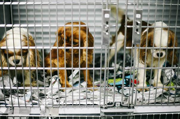 悪徳ブリーダーから108匹の犬を救え!「キャバリア・レスキュー・オペレーション」