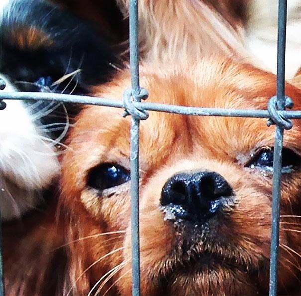 悪徳ブリーダーから108匹の犬を救った「キャバリアレスキュー作戦」
