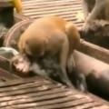 【感動動画】感電して瀕死の猿を仲間が蘇生。