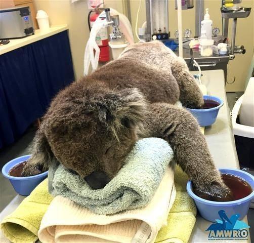 山火事で肉球を火傷したコアラのためにミトンの寄付を募集