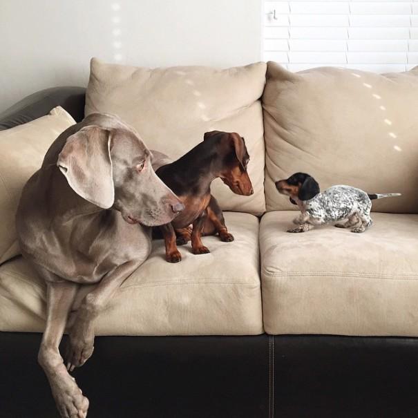 ネットで人気の2匹の犬ハーロウとインディアナの家に仔犬がやってきた!