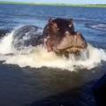 【動画】まるでジョーズのように水面下から追跡し突如水上に現れアタックするカバ