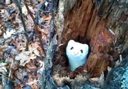 【動画】顔を出したり引っ込めたりする真っ白な野生のオコジョが可愛過ぎる