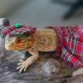 可愛い写真で人気のアゴヒゲトカゲのプリングルスさん。