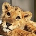 ヨーグルトとパンしか与えられなかった赤ちゃんライオン