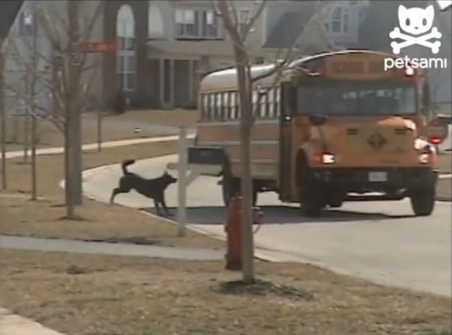 【動画】スクールバスで帰ってくる坊ちゃんを待ちわびる犬