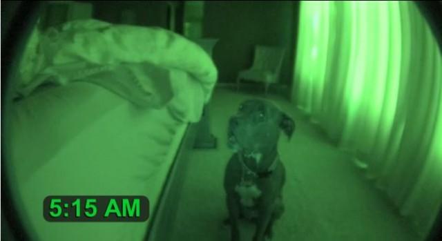 【面白動画】人間の言葉を100%理解しているスヌーズ機能付きのアラーム犬