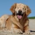 """盲目のゴールデンレトリバー""""スマイリー""""はセラピー犬"""