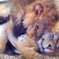 【動画】再会したライオンの兄弟愛「会いたかったよ!寂しかったよ!」