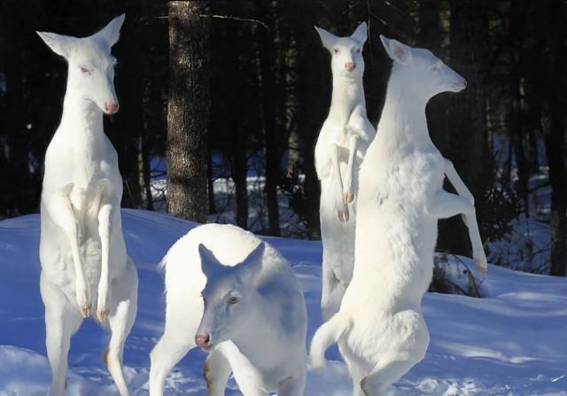 アルビノのカ鹿の家族