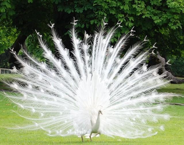 アルビノのカ孔雀