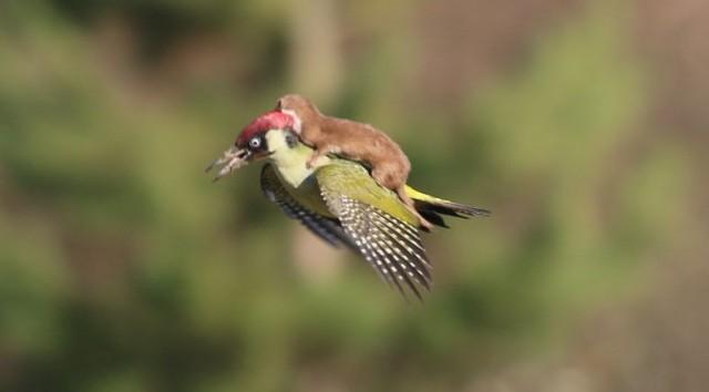 ウッドペッカーの背中に乗り空を飛ぶイタチ!