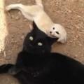 【動画】久しぶりに大好きな猫に会ったフェネックの喜び方がカワイすぎる!