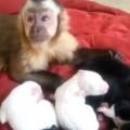 【動画】優しい赤ちゃん猿と6匹の生後間もない仔犬