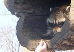 【動画】野生のアライグマがエサをもらう瞬間が可愛すぎる!