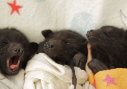 【画像】人間に世話されるコウモリの赤ちゃんが可愛い過ぎ!