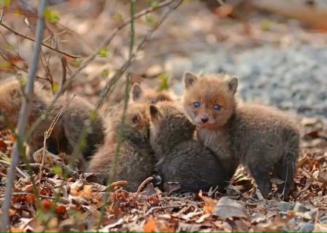 【画像】激カワ!家の庭にキツネの赤ちゃんが遊びに来たよ。