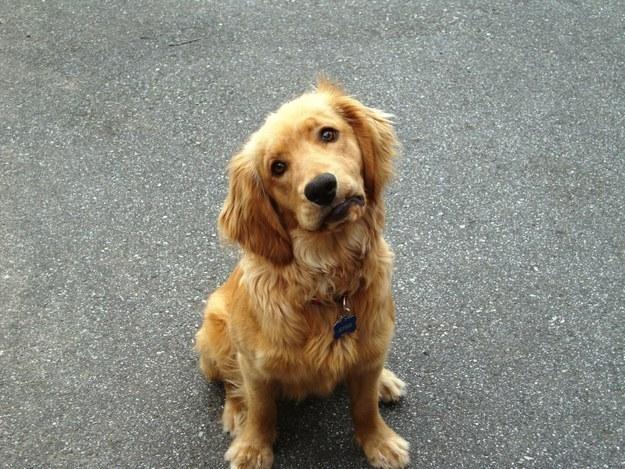 【画像】ゴールデンレトリバーってちょっと抜けてるけどそこが可愛い!仔犬編