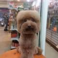 【画像】台湾では犬を正方形や真丸にカットするのが流行中?