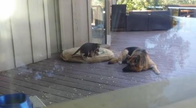 【動画】「こら、お昼寝の時間よ!」仔犬をベッドに連れ戻すシェパード犬