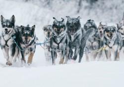 【画像】アラスカの12匹の犬ぞり犬の1日