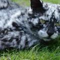 【画像】猫も白髪になるの?元々真っ黒だった猫が不思議なまだら模様に変身
