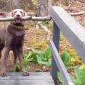 【面白動画】賢い!ぶち当たった問題を考え、計算し、解決する犬