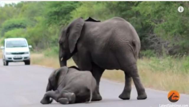 【面白動画】赤ちゃんゾウが「もう歩きたくない!」と道路の真ん中に寝転がると。。。