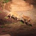 【動画】民家の裏庭でボールで遊ぶ2匹の仔ギツネが可愛過ぎる!
