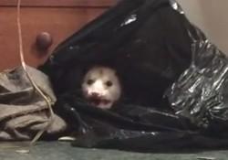 【動画】家のクローゼットにオポッサムが!キャー!でもよく見てみると。。。
